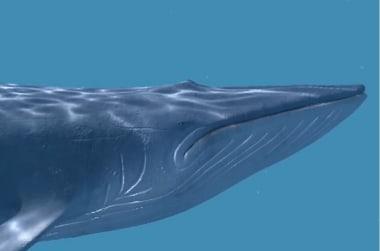 Blue whale VR